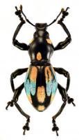 pachyrrhynchus-10-1-171x300