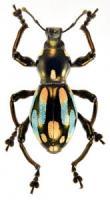 pachyrrhynchus-11-1-165x300