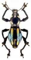 pachyrrhynchus-12-1-156x300