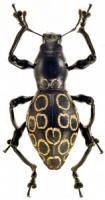 pachyrrhynchus-14-1-158x300