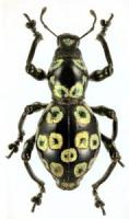 pachyrrhynchus-2-1-177x300