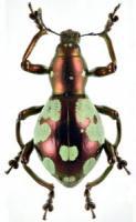 pachyrrhynchus-9-1-185x300